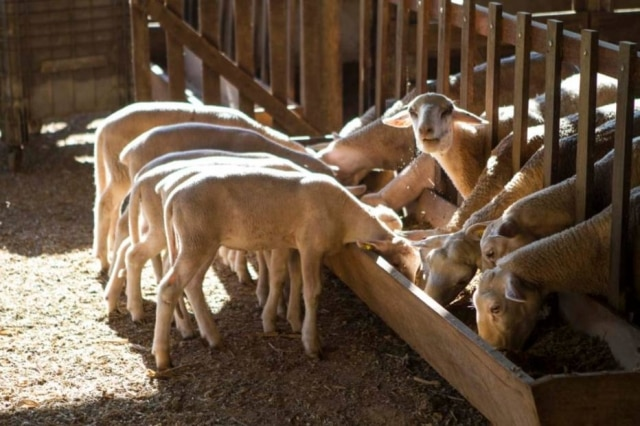 Ovelhas da Queijaria Rima que produz queijos frescos e um doce de leite feito no fogão a lenha