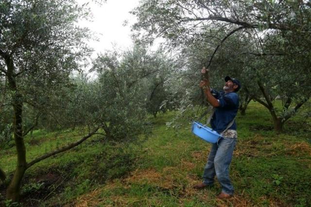 Seu Lourenço cata azeitona na fazenda Oliq; no resto do ano, trabalha como pedreiro