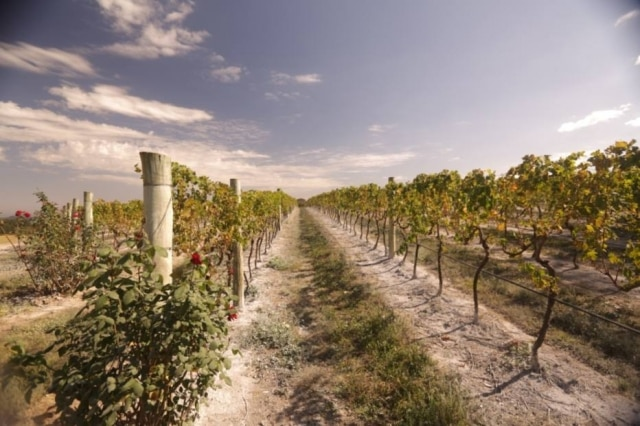 Vinhedos da Guaspari, vinícola em Espírito Santo do Pinhal, a 200 km de São Paulo.