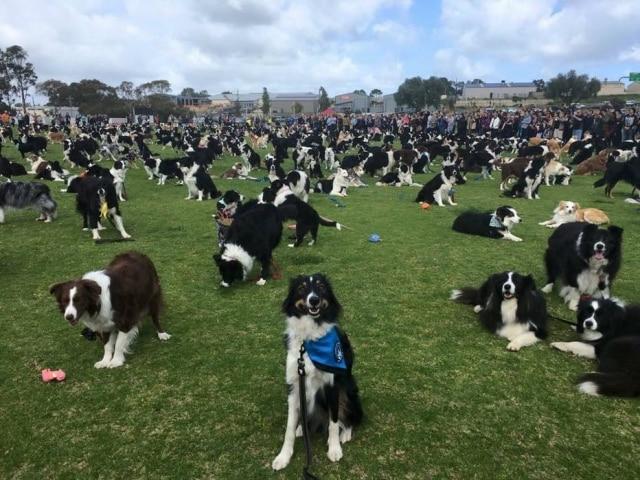 Grupo reuniu 576 cães da raça border collie na Austrália.