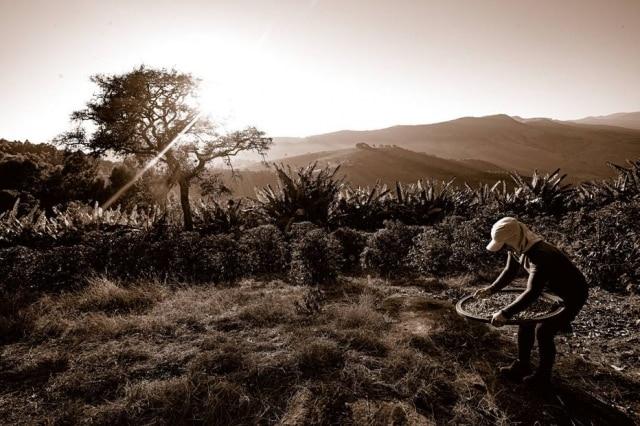 A dedicação do trabalhador rural em fazendas de café pelo Brasil é retratada em 'Cafés da Mantiqueira'