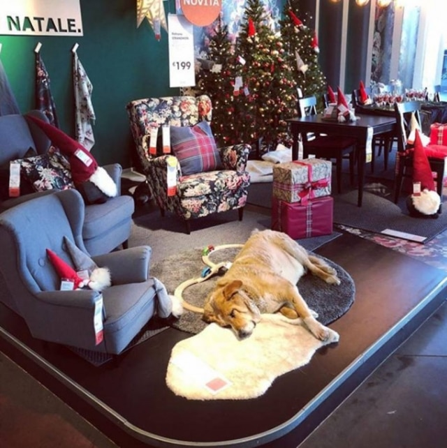 Protegido do frio, cão faz parte da exposição dos móveis na loja IKEA, na Itália.