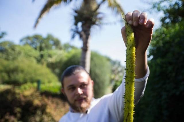 Chef Henrique Nunes com o cabo da flor. É cheio de espinhos, que devem ser retirados. É fibroso e pode ser preparado como picles, pode virar espaguete