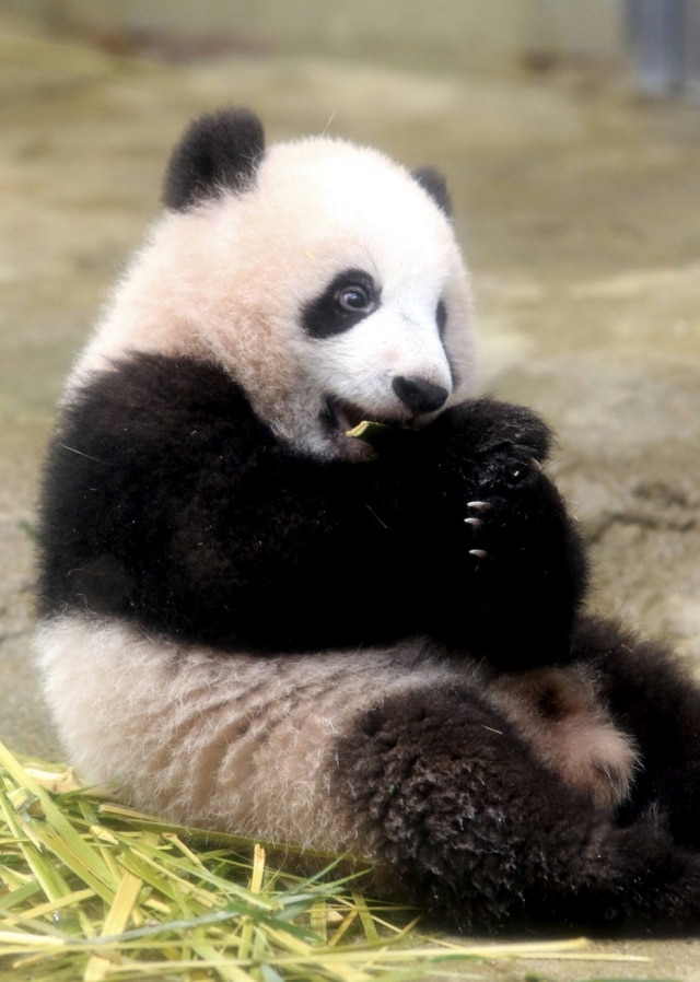 O bebê panda Xiang Xiang, oficialmente apresentado nesta terça-feira, 19.