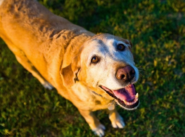 Cachorros treinados para detectar baixo índice glicêmico no sangue podem custar cerca de R$ 50 mil