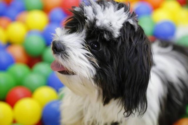 Cãozinho se diverte na piscina de bolinhas.