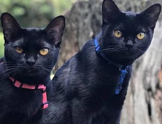Gatos da raça Bombay que atuam na próxima novela da Globo 'O Sétimo Guardião'.
