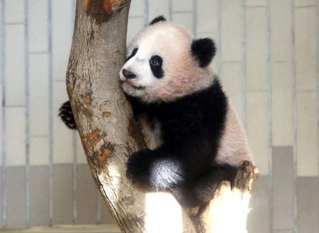 O bebê panda Xiang Xiang foi apresentado oficialmente nesta terça-feira, 19.