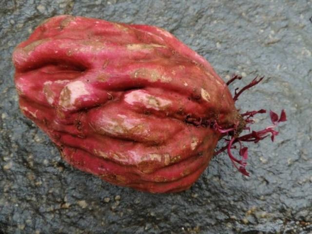 Cada batata pesava em média 1kg, chegando a 2 kg em alguns casos