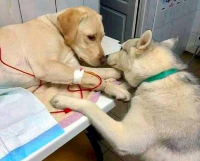 Cachorro foi elogiado como o melhor enfermeiro de todos os tempos.
