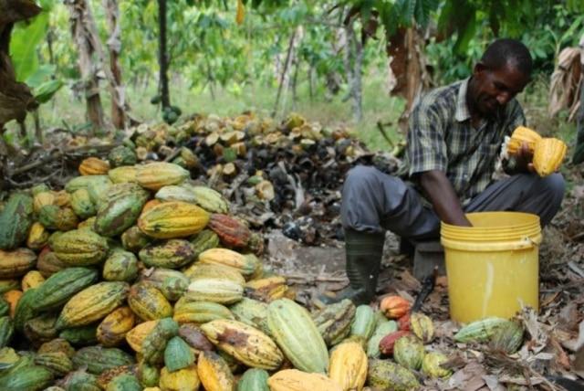 Cultivo de cacau no Equador, da época em que Greg D'Alesandre visitou o local, em 2013