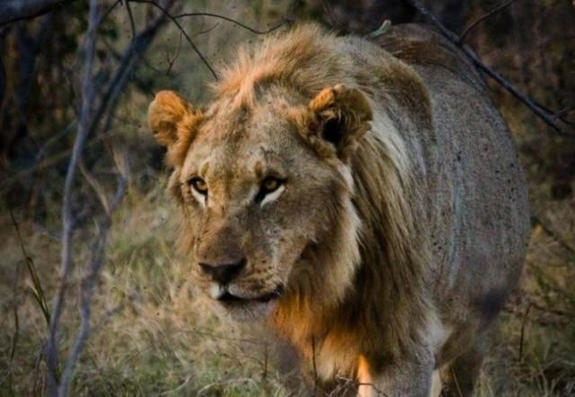 Após adquirirem juba, leoas rejeitam machos e acasalam entre elas.