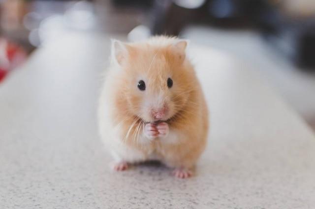 Hamster de estimação foi jogado no vasos anitário após ser barrado de entrar em avião.