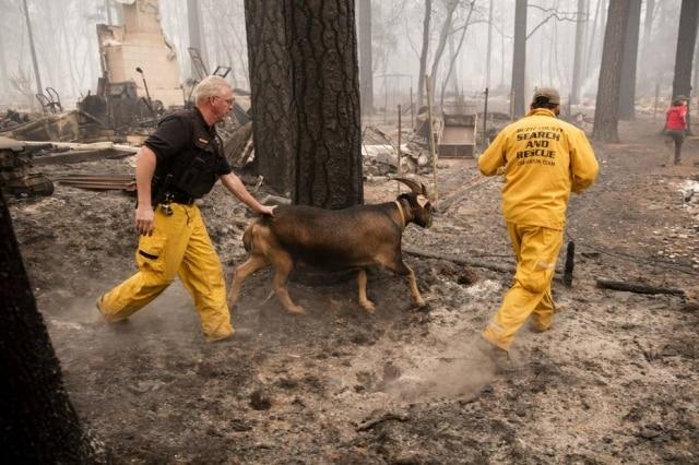 Equipe de resgate conduz bode abandonado para um curral onde outros animais estão temporariamente abrigados.