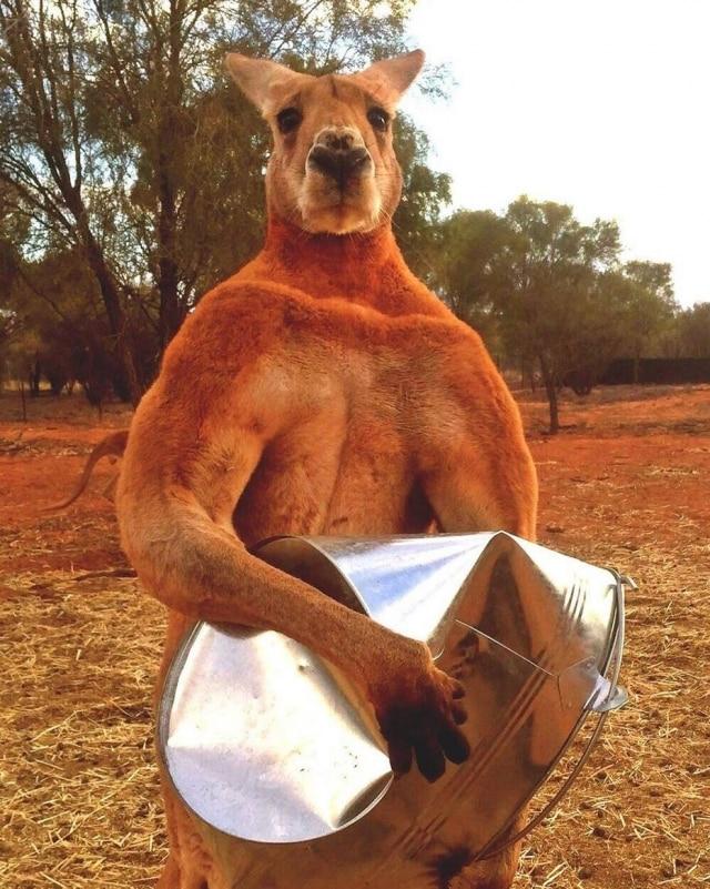 Roger, o 'canguru musculoso'