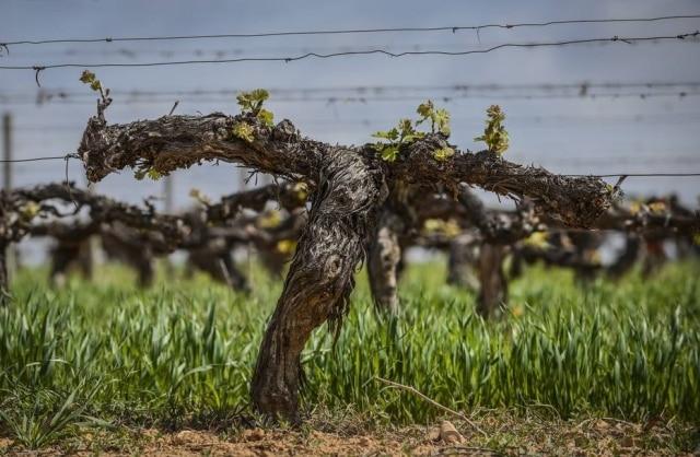 Videira do vinhedo deMas La Plana